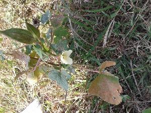 (Abelmoschus - DNAFR001205)  @11 [ ] Copyrights (2015) Gujarat Biodiversity Gene Bank, GSBTM, DST, GoG Gujarat Biodiversity Gene Bank, GSBTM, DST, GoG