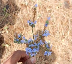 (Lavandula - DNAFR001341)  @11 [ ] Copyright (2015) Gujarat Biodiversity Gene Bank, GSBTM, DST, GoG Gujarat Biodiversity Gene Bank, GSBTM, DST, GoG