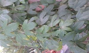 (Passiflora edulis - DNAFR001120)  @11 [ ] Copyrights (2015) Gujarat Biodiversity Gene Bank, GSBTM, DST, GoG Gujarat Biodiversity Gene Bank, GSBTM, DST, GoG