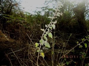 (Clerodendron - DNAFR001223)  @11 [ ] Copyright (2015) Gujarat Biodiversity Gene Bank, GSBTM, DST, GoG Gujarat Biodiversity Gene Bank, GSBTM, DST, GoG