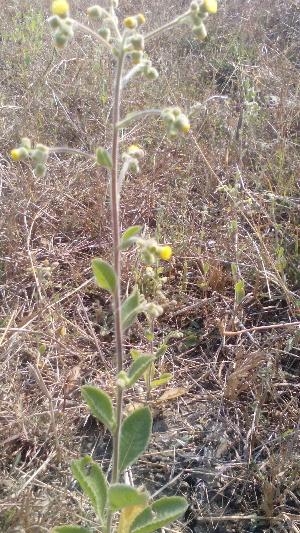 (Blumea - DNAFR001212)  @11 [ ] Copyright (2015) Gujarat Biodiversity Gene Bank, GSBTM, DST, GoG Gujarat Biodiversity Gene Bank, GSBTM, DST, GoG