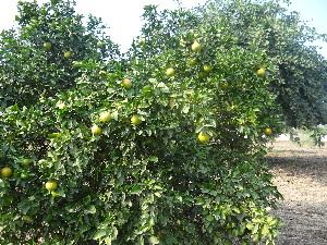 (Citrus - DNAFR001076)  @11 [ ] Copyrights (2015) Gujarat Biodiversity Gene Bank, GSBTM, DST, GoG Gujarat Biodiversity Gene Bank, GSBTM, DST, GoG
