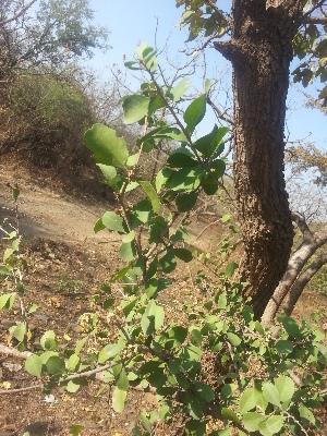 (Gymnosporia - DNAFR001156)  @11 [ ] Copyright (2015) Gujarat Biodiversity Gene Bank, GSBTM, DST, GoG Gujarat Biodiversity Gene Bank, GSBTM, DST, GoG