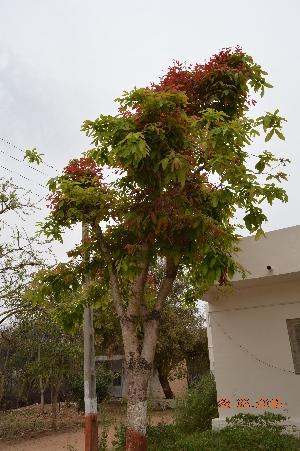(Sapindoideae - DNAFR001160)  @11 [ ] Copyrights (2015) Gujarat Biodiversity Gene Bank, GSBTM, DST, GoG Gujarat Biodiversity Gene Bank, GSBTM, DST, GoG