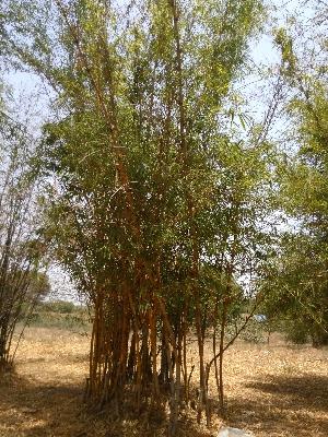 (Bambusa vulgaris - DNAFR001484)  @11 [ ] Copyright (2016) Gujarat Biodiversity Gene Bank, GSBTM, DST, GoG Gujarat Biodiversity Gene Bank, GSBTM, DST, GoG