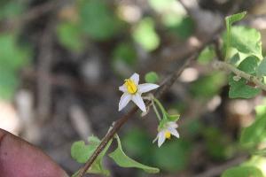 (Solanum forskalii - DNAFR001387)  @11 [ ] Copyrights (2016) Gujarat Biodiversity Gene Bank, GSBTM, DST, GoG Gujarat Biodiversity Gene Bank, GSBTM, DST, GoG