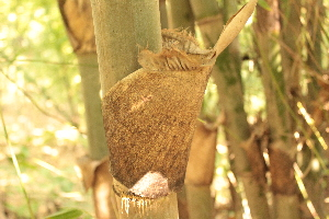 (Bambusa cacharensis - DNAFR001495)  @11 [ ] Copyright (2016) Gujarat Biodiversity Gene Bank, GSBTM, DST, GoG Gujarat Biodiversity Gene Bank, GSBTM, DST, GoG