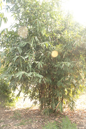 (Bambusa balcoa - DNAFR001458)  @11 [ ] Copyright (2016) Gujarat Biodiversity Gene Bank, GSBTM, DST, GoG Gujarat Biodiversity Gene Bank, GSBTM, DST, GoG