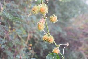 (Euphorbia heterophylla - DNAFR001558)  @11 [ ] Copyrights (2016) Gujarat Biodiversity Gene Bank, GSBTM, DST, GoG Gujarat Biodiversity Gene Bank, GSBTM, DST, GoG