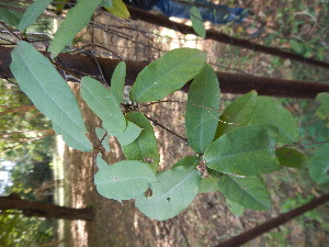 (Passiflora vesicaria - DNAFR001560)  @11 [ ] Copyright (2016) Gujarat Biodiversity Gene Bank, GSBTM, DST, GoG Gujarat Biodiversity Gene Bank, GSBTM, DST, GoG