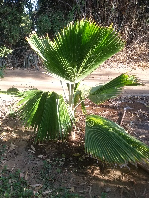 (Pritchardia - DNAFR001415)  @11 [ ] Copyright (2016) Gujarat Biodiversity Gene Bank, GSBTM, DST, GoG Gujarat Biodiversity Gene Bank, GSBTM, DST, GoG