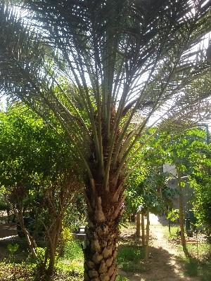 (Phoenix dactylifera - DNAFR001418)  @11 [ ] Copyright (2016) Gujarat Biodiversity Gene Bank, GSBTM, DST, GoG Gujarat Biodiversity Gene Bank, GSBTM, DST, GoG