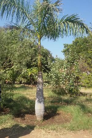 (Roystonea - DNAFR001419)  @11 [ ] Copyrights (2016) Gujarat Biodiversity Gene Bank, GSBTM, DST, GoG Gujarat Biodiversity Gene Bank, GSBTM, DST, GoG