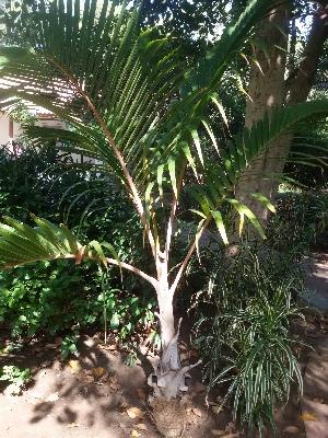 (Arecales - DNAFR001420)  @11 [ ] Copyright (2016) Gujarat Biodiversity Gene Bank, GSBTM, DST, GoG Gujarat Biodiversity Gene Bank, GSBTM, DST, GoG
