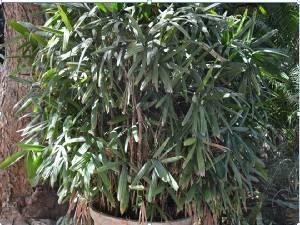 (Latania - DNAFR001422)  @11 [ ] Copyrights (2016) Gujarat Biodiversity Gene Bank, GSBTM, DST, GoG Gujarat Biodiversity Gene Bank, GSBTM, DST, GoG
