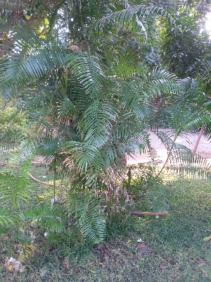 (Dypsis - DNAFR001424)  @11 [ ] Copyrights (2016) Gujarat Biodiversity Gene Bank, GSBTM, DST, GoG Gujarat Biodiversity Gene Bank, GSBTM, DST, GoG