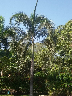 (Wodyetia - DNAFR001425)  @11 [ ] Copyrights (2016) Gujarat Biodiversity Gene Bank, GSBTM, DST, GoG Gujarat Biodiversity Gene Bank, GSBTM, DST, GoG