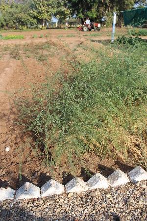 (Asparagaceae - DNAFR001474)  @11 [ ] Copyright (2016) Gujarat Biodiversity Gene Bank, GSBTM, DST, GoG Gujarat Biodiversity Gene Bank, GSBTM, DST, GoG