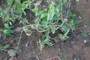 (Euphorbia dracunculoides - DNAFR001478)  @11 [ ] Copyright (2016) Gujarat Biodiversity Gene Bank, GSBTM, DST, GoG Gujarat Biodiversity Gene Bank, GSBTM, DST, GoG