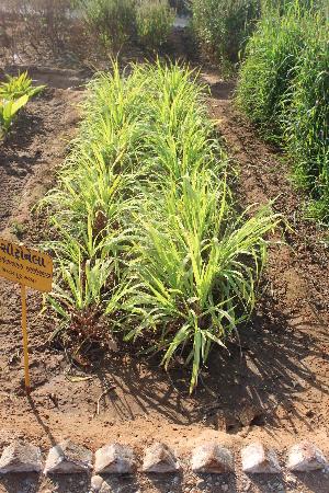(Cymbopogon - DNAFR001479)  @11 [ ] Copyrights (2016) Gujarat Biodiversity Gene Bank, GSBTM, DST, GoG Gujarat Biodiversity Gene Bank, GSBTM, DST, GoG