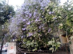 (Petrea - DNAFR001480)  @11 [ ] Copyrights (2016) Gujarat Biodiversity Gene Bank, GSBTM, DST, GoG Gujarat Biodiversity Gene Bank, GSBTM, DST, GoG