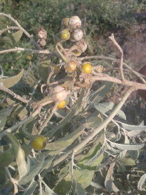 (Solanum forskalii - DNAFR001694)  @11 [ ] Copyrights (2016) Gujarat Biodiversity Gene Bank, GSBTM, DST, GoG Gujarat Biodiversity Gene Bank, GSBTM, DST, GoG