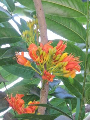 (Castanospermum - DNAFR001711)  @11 [ ] Copyrights (2016) Gujarat Biodiversity Gene Bank, GSBTM, DST, GoG Gujarat Biodiversity Gene Bank, GSBTM, DST, GoG