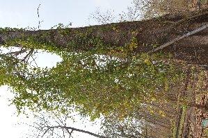 (Passiflora edulis - DNAFR001622)  @11 [ ] Copyright (2016) Gujarat Biodiversity Gene Bank Gujarat Biodiversity Gene Bank