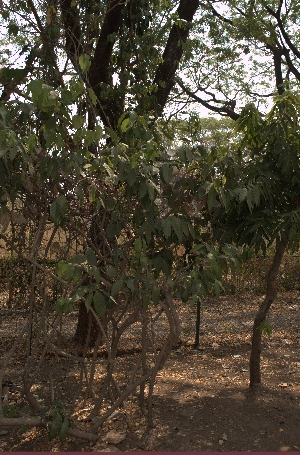 (Malpighiaceae - DNAFR001627)  @11 [ ] Copyrights (2016) Gujarat Biodiversity Gene Bank Gujarat Biodiversity Gene Bank