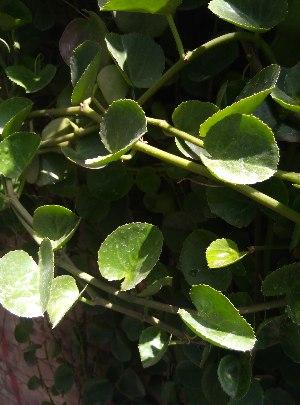 (Cissus rotundifolia - DNAFR001634)  @11 [ ] Copyright (2016) Gujarat Biodiversity Gene Bank Gujarat Biodiversity Gene Bank