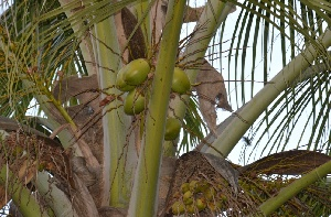 (Cocos nucifera - DNAFR001646)  @11 [ ] Copyright (2016) Gujarat Biodiversity Gene Bank, GSBTM, DST, GoG Gujarat Biodiversity Gene Bank