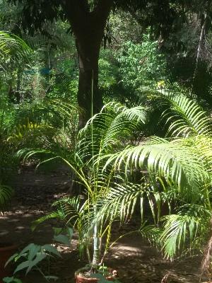 (Chamaedorea - DNAFR001649)  @11 [ ] Copyright (2016) Gujarat Biodiversity Gene Bank, GSBTM, DST, GoG Gujarat Biodiversity Gene Bank