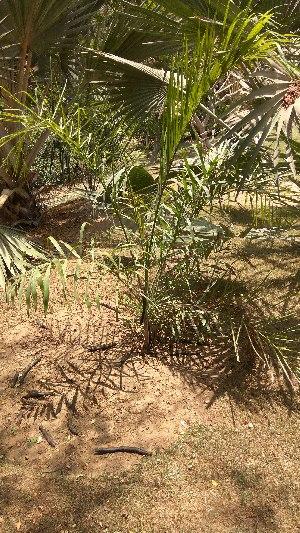 (Syagrus - DNAFR001665)  @11 [ ] Copyright (2016) Gujarat Biodiversity Gene Bank, GSBTM, DST, GoG Gujarat Biodiversity Gene Bank