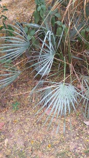 (Chamaerops - DNAFR001669)  @11 [ ] Copyright (2016) Gujarat Biodiversity Gene Bank, GSBTM, DST, GoG Gujarat Biodiversity Gene Bank