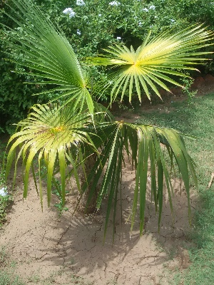 (Livistona - DNAFR001677)  @11 [ ] Copyright (2016) Gujarat Biodiversity Gene Bank, GSBTM, DST, GoG Gujarat Biodiversity Gene Bank