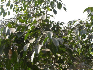 (Ficus benjamina var. nuda - DNAFR001774)  @11 [ ] Copyrights (2017) Gujarat Biodiversity Gene Bank, GSBTM, DST, GoG Gujarat Biodiversity Gene Bank, GSBTM, DST, GoG