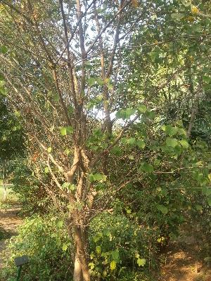 ( - DNAFR001780)  @11 [ ] Copyrights (2017) Gujarat Biodiversity Gene Bank, GSBTM, DST, GoG Gujarat Biodiversity Gene Bank, GSBTM, DST, GoG
