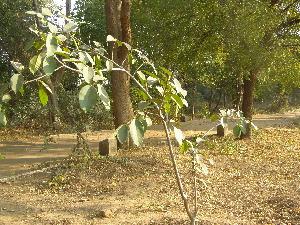 (Ficus drupacea - DNAFR001781)  @11 [ ] Copyrights (2017) Gujarat Biodiversity Gene Bank, GSBTM, DST, GoG Gujarat Biodiversity Gene Bank, GSBTM, DST, GoG