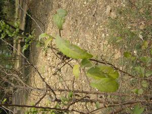 (Diospyros montana - DNAFR001791)  @11 [ ] Copyrights (2017) Gujarat Biodiversity Gene Bank, GSBTM, DST, GoG Gujarat Biodiversity Gene Bank, GSBTM, DST, GoG