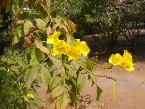 ( - DNAFR001799)  @11 [ ] Copyrights (2017) Gujarat Biodiversity Gene Bank, GSBTM, DST, GoG Gujarat Biodiversity Gene Bank, GSBTM, DST, GoG