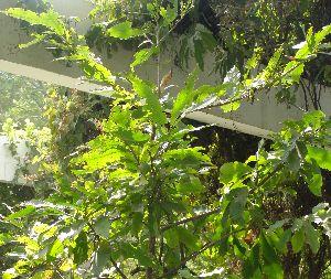 (Ochnaceae - DNAFR001816)  @11 [ ] Copyrights (2017) Gujarat Biodiversity Gene Bank, GSBTM, DST, GoG Gujarat Biodiversity Gene Bank, GSBTM, DST, GoG