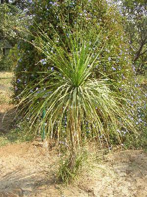 (Beaucarnea recurvata - DNAFR001822)  @11 [ ] Copyrights (2017) Gujarat Biodiversity Gene Bank, GSBTM, DST, GoG Gujarat Biodiversity Gene Bank, GSBTM, DST, GoG