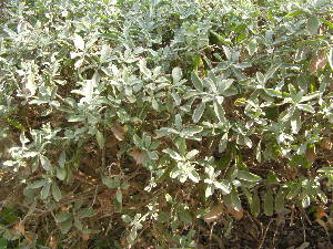 (Leucophyllum - DNAFR001824)  @11 [ ] Copyrights (2017) Gujarat Biodiversity Gene Bank, GSBTM, DST, GoG Gujarat Biodiversity Gene Bank, GSBTM, DST, GoG