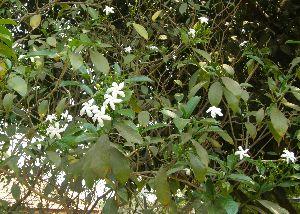 (Tabernaemontana divaricata - DNAFR001826)  @11 [ ] Copyrights (2017) Gujarat Biodiversity Gene Bank, GSBTM, DST, GoG Gujarat Biodiversity Gene Bank, GSBTM, DST, GoG