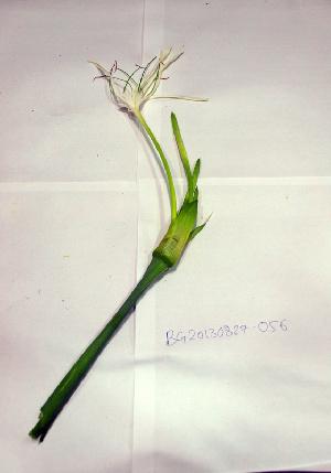 (Hymenocallis - DNAFR000708)  @11 [ ] Copyright (2014) Gujarat Biodiversity Gene Bank, GSBTM, DST, GoG Gujarat Biodiversity Gene Bank, GSBTM, DST, GoG