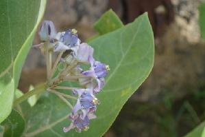 (Calotropis gigantea - DNAFR000183)  @11 [ ] Copyright (2014) Gujarat Biodiversity Gene Bank, GSBTM, DST, GoG Gujarat Biodiversity Gene Bank, GSBTM, DST, GoG