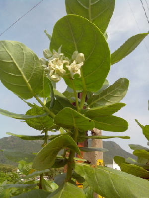 (Calotropis gigantea - DNAFR000254)  @11 [ ] Copyright (2014) Gujarat Biodiversity Gene Bank, GSBTM, DST, GoG Gujarat Biodiversity Gene Bank, GSBTM, DST, GoG