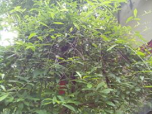 (Vernonia - DNAFR000265)  @11 [ ] Copyright (2014) Gujarat Biodiversity Gene Bank, GSBTM, DST, GoG Gujarat Biodiversity Gene Bank, GSBTM, DST, GoG