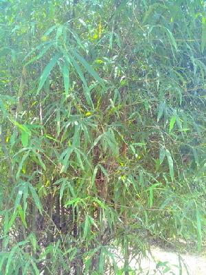 (Dendrocalamus - DNAFR000280)  @11 [ ] Copyright (2014) Gujarat Biodiversity Gene Bank, GSBTM, DST, GoG Gujarat Biodiversity Gene Bank, GSBTM, DST, GoG