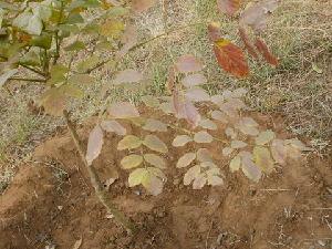 (Radermachera - DNAFR000198)  @11 [ ] Copyright (2014) Gujarat Biodiversity Gene Bank, GSBTM, DST, GoG Gujarat Biodiversity Gene Bank, GSBTM, DST, GoG